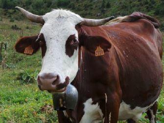 Maison du fromage Abondance une vache Guides du Patrimoine Savoie Mont Blanc